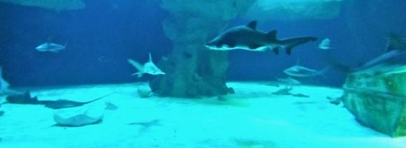 aquarium-ocearium-croisic-requins